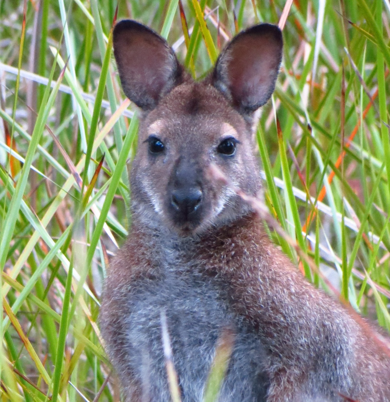 This is a Wallaby. The most obvious difference between a Wallaby and Kangaroo is size. Kanga