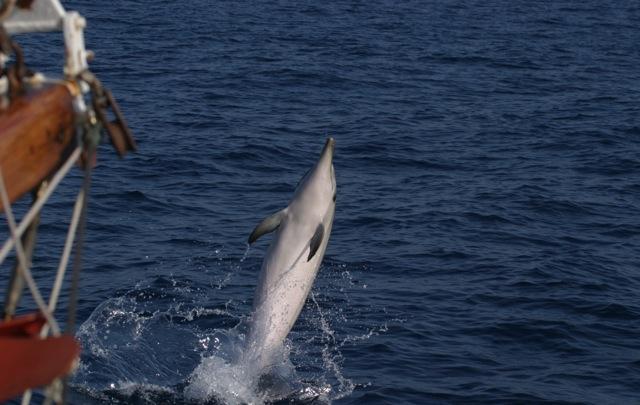 Ischia Dolphins