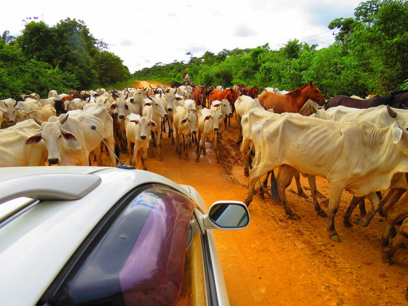 Traffic jam in rural Bolivia. This traffic is bull s*&t!