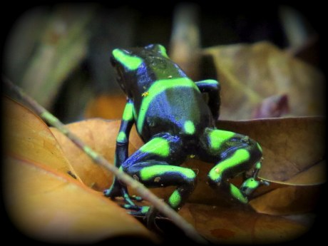 Poison dart frogs in Panama.