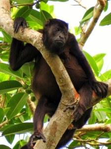 Howler Monkeys in the Soberania National Park.