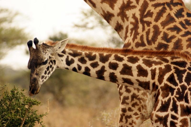 Giraffes graze