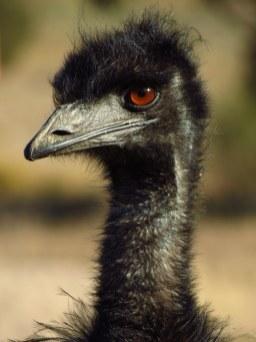 Emu. Canberra, Australia