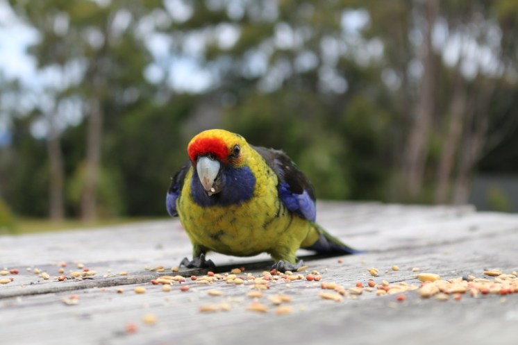 Green Rosella's come out to play!