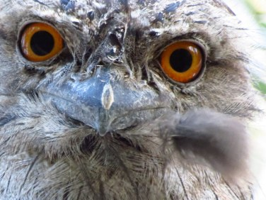 Tawny Frog Mouth Owl