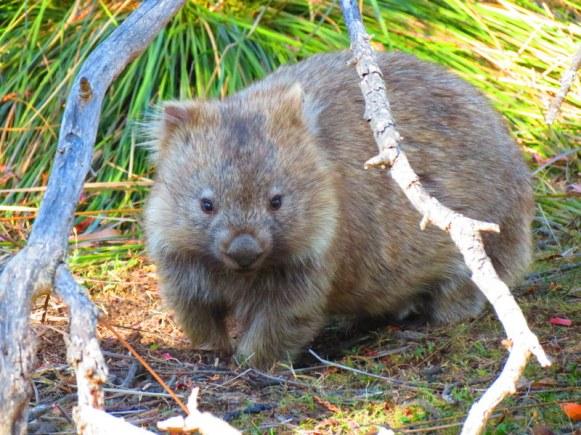 Wombats in Tasmania