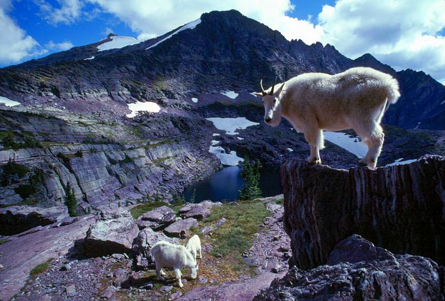 Mountains goats in Glacier National Park, Montana