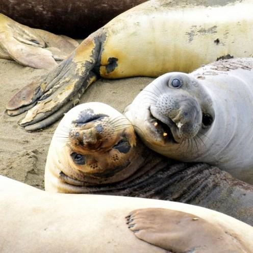 Elephant Seal Rookery, California.