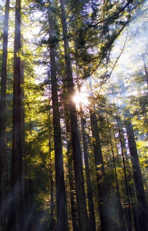 California Redwood Forest. Photo by Rob Shenk