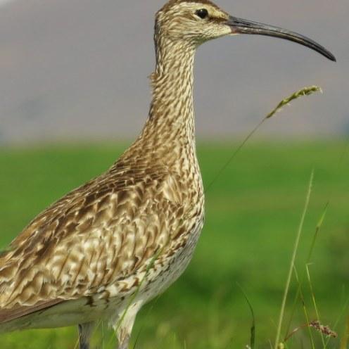 Icelandic seabirds