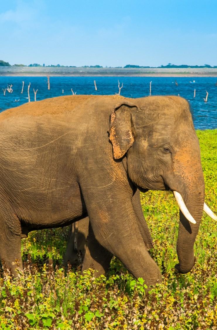 Elephants in Kaudulla National Park, Sri Lanka