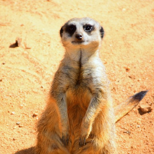 Meerkat at the National Zoo & Aquarium Australia