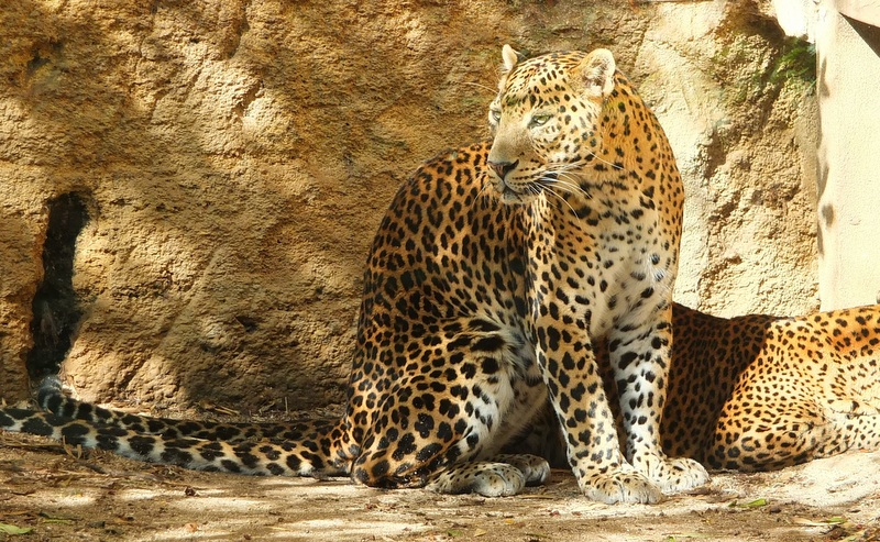 Sri Lanka offers opportunities for tracking leopards in the jungle.