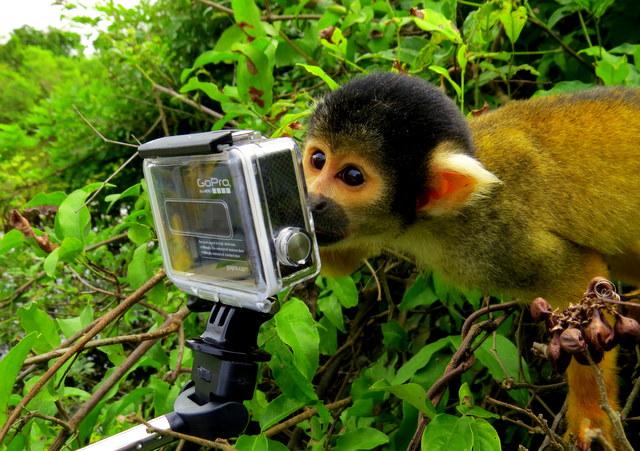 Squirrel Monkey in the Amazon