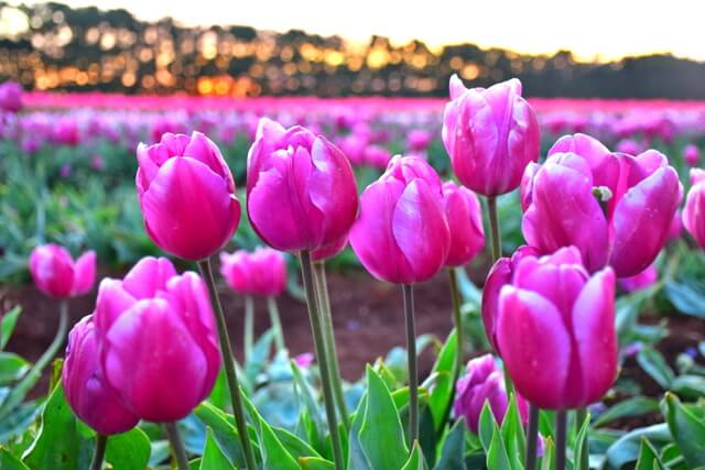 Table Cape Tulip Farm Tasmania's Tulip Season