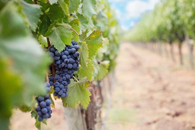 Grapes wine RF
