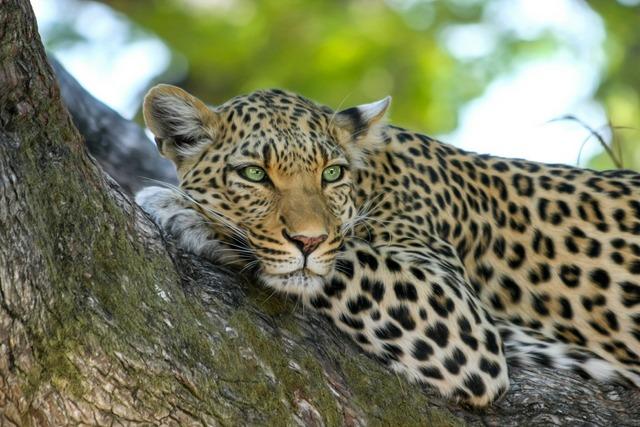 Leopard RF