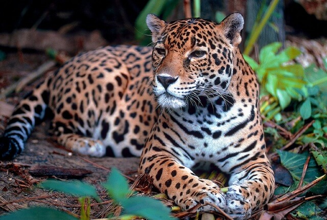 Jaguar in the Amazon