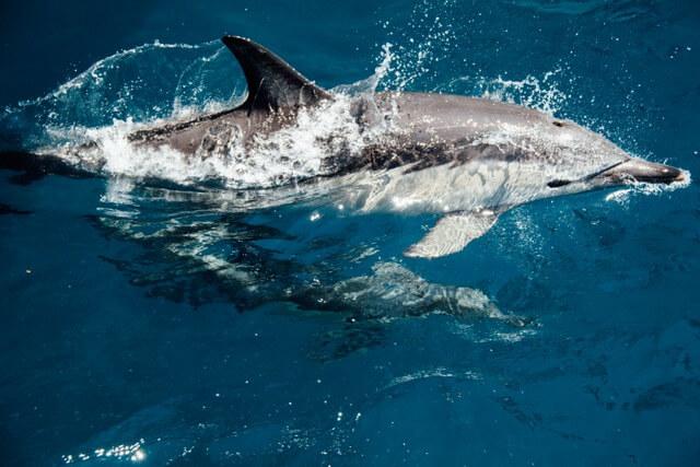 Dolphin RF
