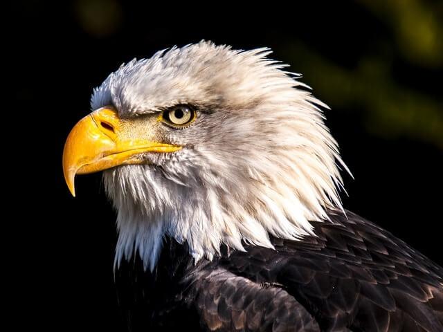 Bald Eagle RF