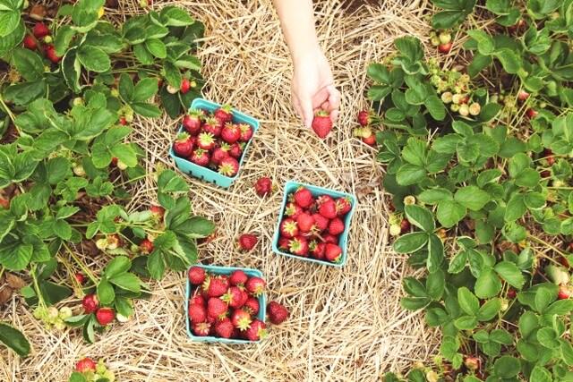 Picking strawberries fruit RF
