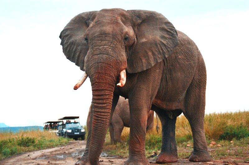 African elephant RF