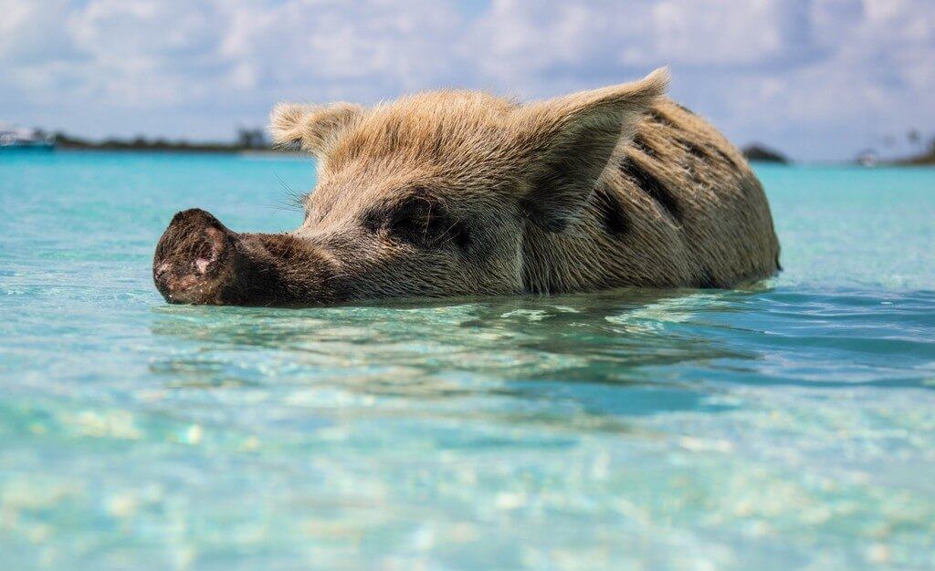 Bahamas Pig swimming RF