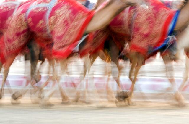 Camel Racing UAE RF