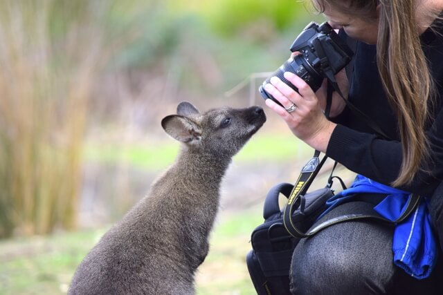 Wallaby Australian wildlife