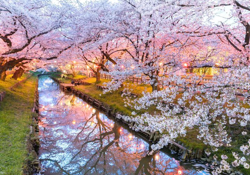Hanami season Japan cherry blossoms RF