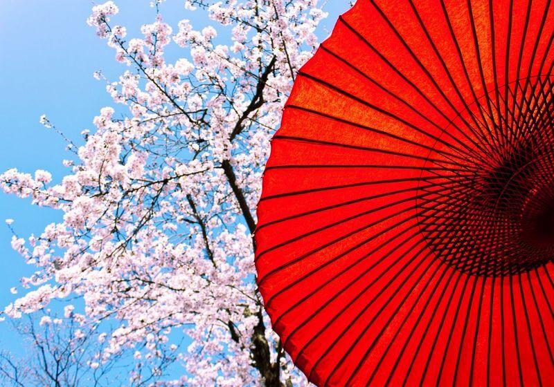 Hanami season Japan cherry blossoms RF
