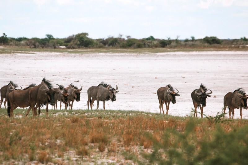 Etosha National Park Herd