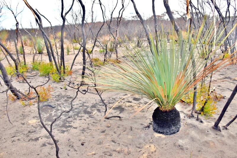 Regrowth after fire: Kangaroo Island 2020 Bushfires