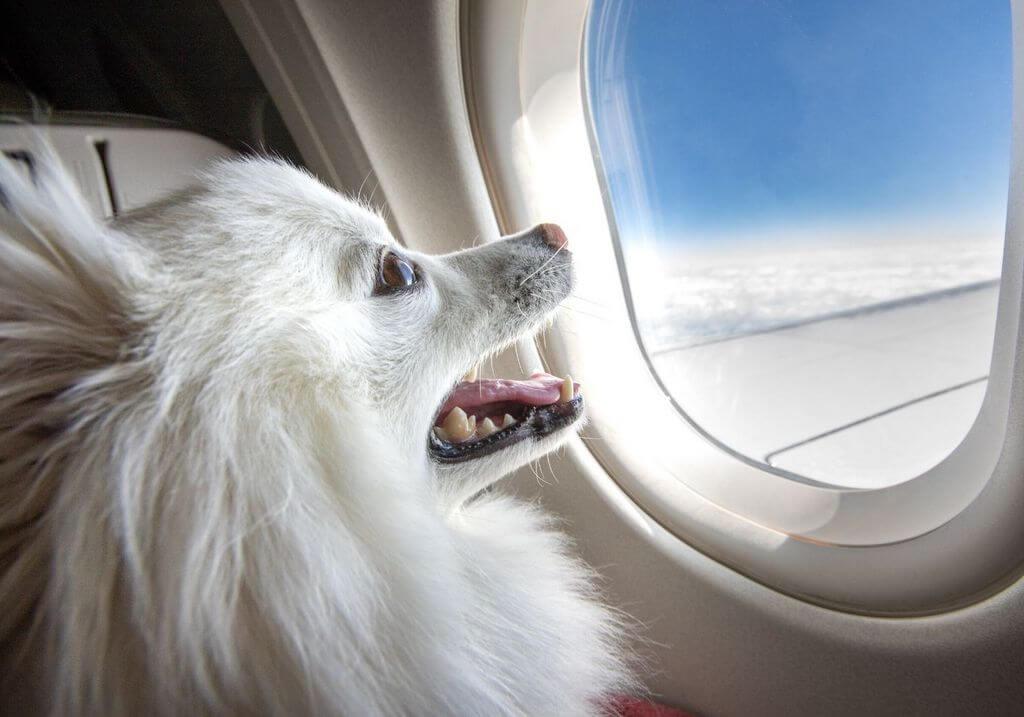 Dog plane flying RF