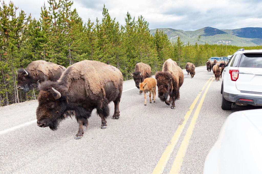 Yellowstone National Park RF