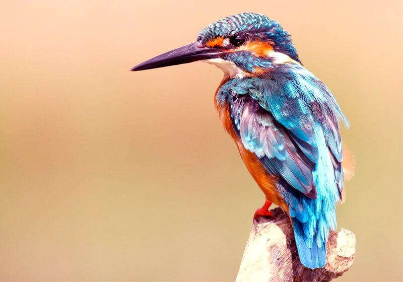 Blue Kingfisher bird RF