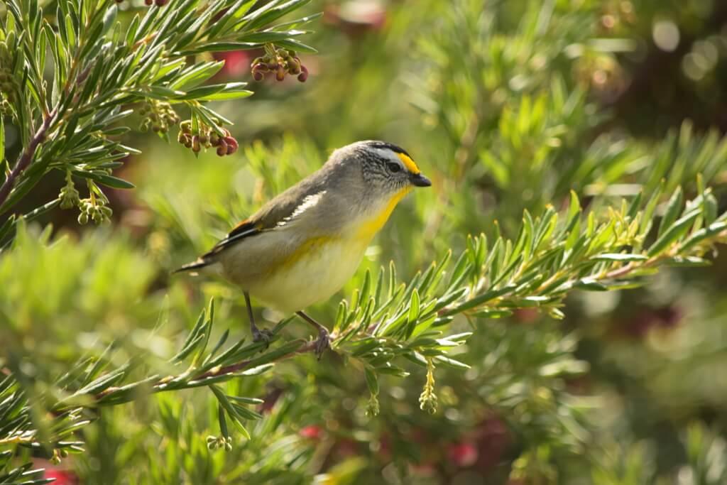 Tasmania Bird