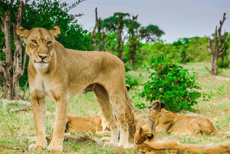 Botswana lion Paula Martinelli