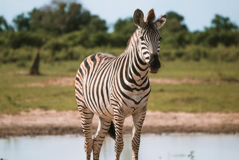 Zebra Paula Martinelli Botswana
