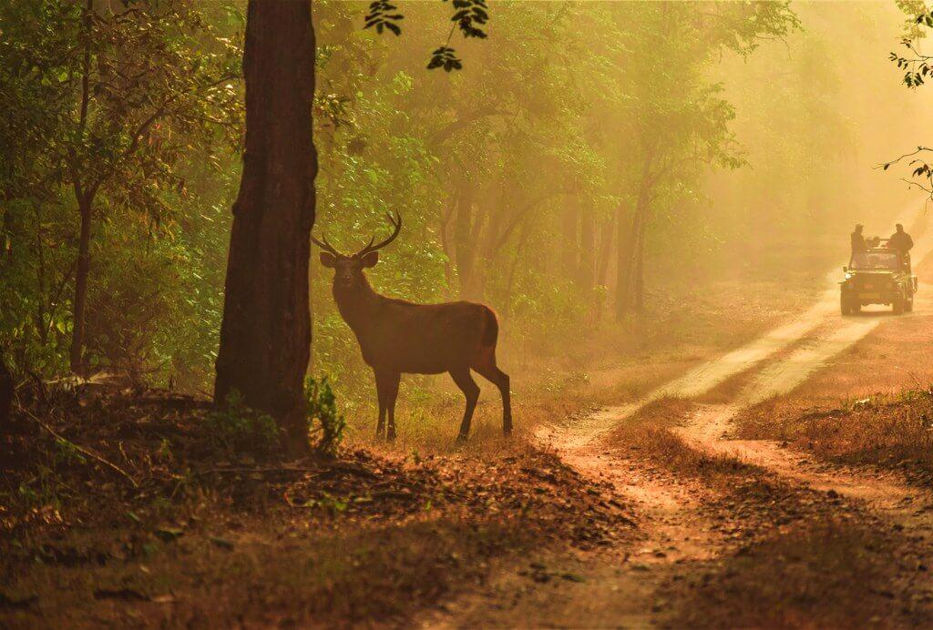 Jungle Deer Indian safari RF