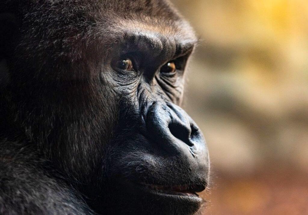 Gorilla RF