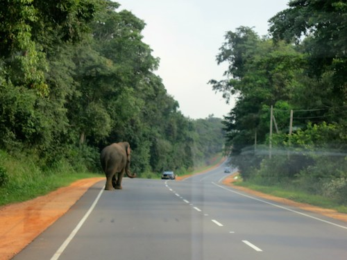 Wild elephant walking along the road in Sri Lanka near Dambulla