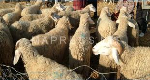 حماة المستهلك يطالبون بالإعلان عن أماكن بيع أضاحي العيد