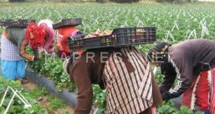 عاملات الفراولة المغربيات ستحصلن على حق الإقامة بإسبانيا…