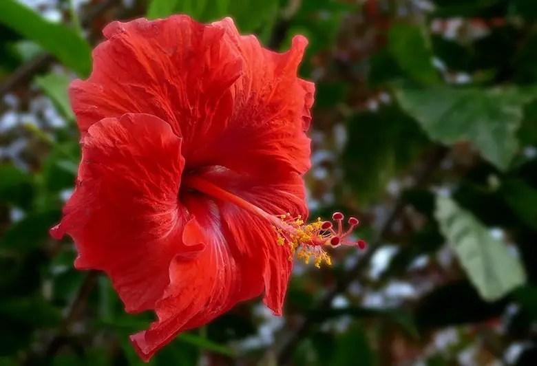 Hibiscus Flower Meaning In Marathi | Best Flower Site