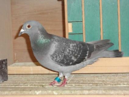 Winnende duif Orange Dekkersedited