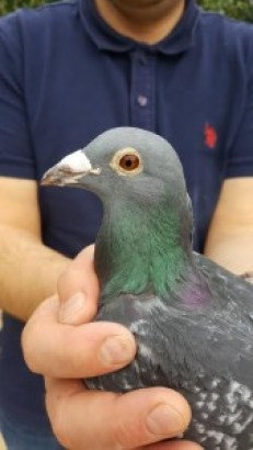 kop winnende duif