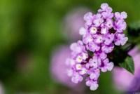 ランタナ 紫