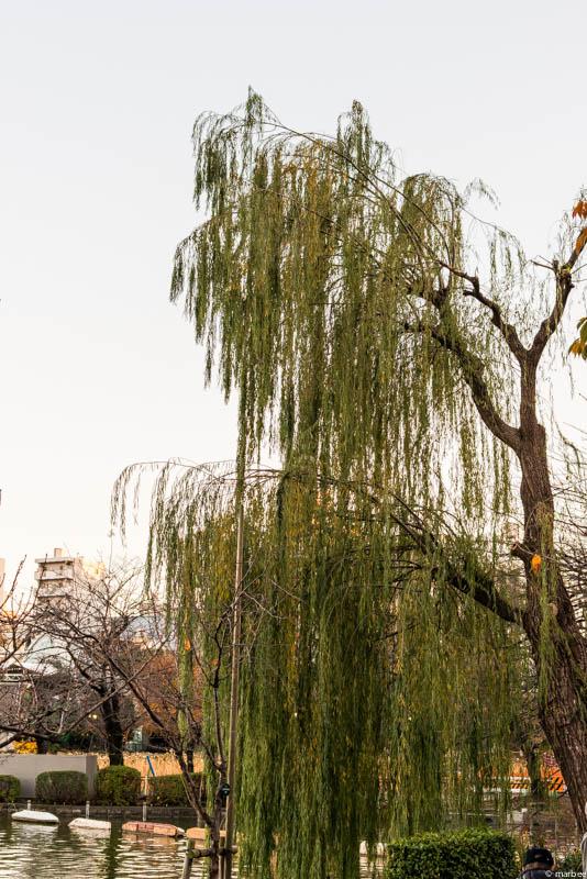 上野公園 柳