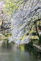 染井吉野と池